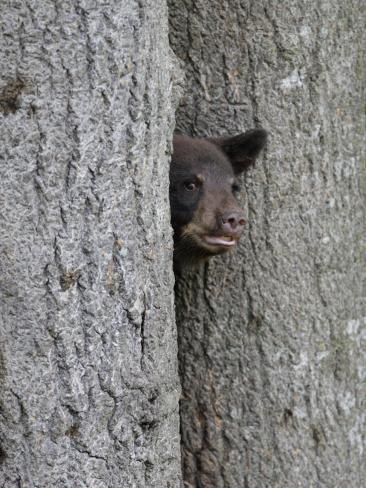 Black Bear Cub Peeking from Behind Tree Photographic Print