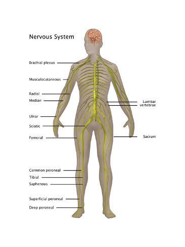 Nervous System in Female Anatomy Art by Gwen Shockey - at AllPosters ...