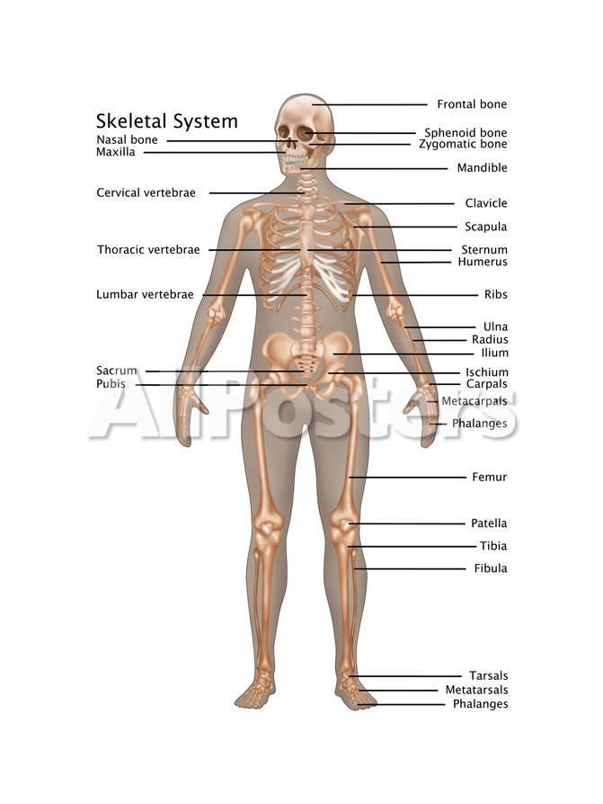 diagram of male skeleton skeletal system in male anatomy  art gwen shockey allposters com  skeletal system in male anatomy  art