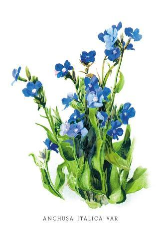Anchusa Italica Var Decalcomania da muro