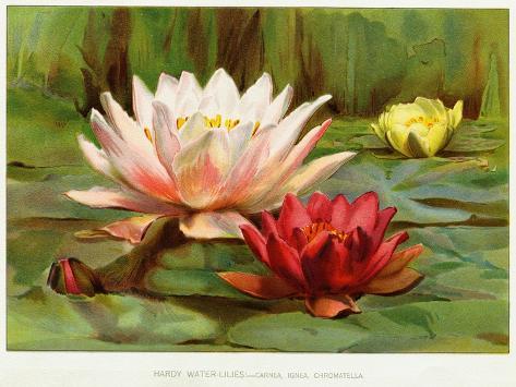 Hardy Water-Lilies Lámina giclée