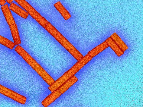 Tobacco Rattle Virus Valokuvavedos