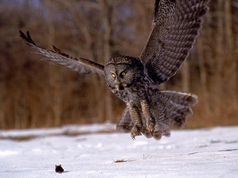 Great Gray Owl Flying, Rowley, MA Photographic Print