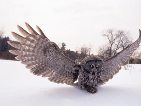 Great Gray Owl, Rowley, MA Photographic Print