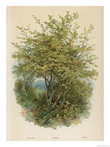Hazel Tree Stampa giclée