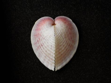 heart cockle Florida's best shelling beaches by michael warren share this: facebook twitter pinterest more  among the local shells: sand dollars, great heart cockles .