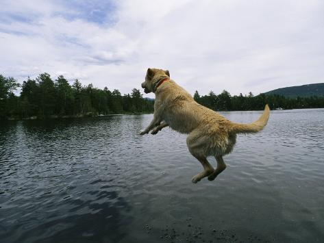 A Yellow Labrador Retriever Jumps into a Lake Photographic Print