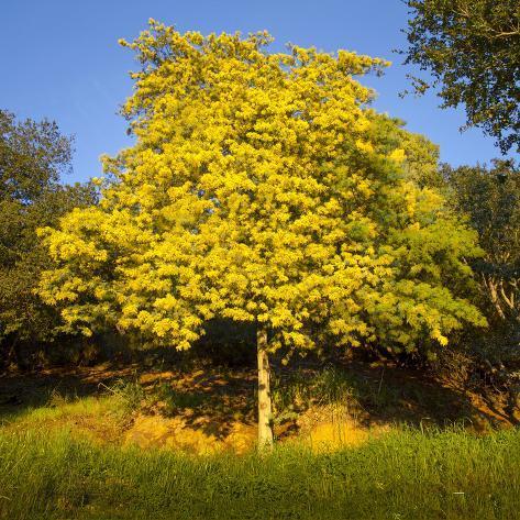 Acacia tree in bloom oakland ca yellow flowering tree wall decal acacia tree in bloom oakland ca yellow flowering tree mightylinksfo