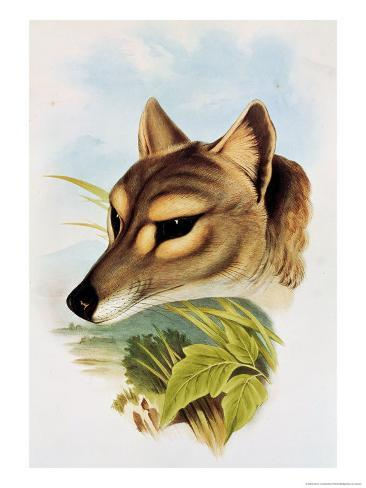 Tasmanian Wolf or Tiger (Thylacinus Cynocephalus) Lámina giclée