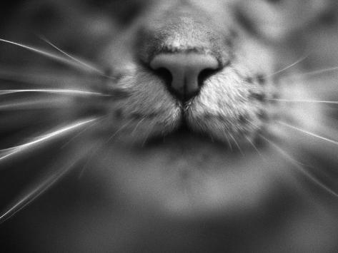 Cat's Nose and Whiskers Photographic Print