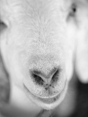 Close Up of Goat's Nose Photographic Print
