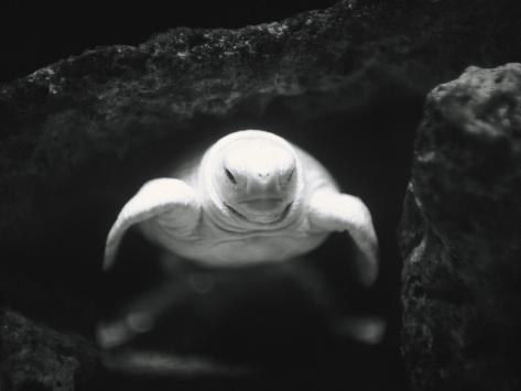 Turtle Without Shell Photographic Print