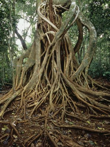 Strangler Fig Ficus Growing On Its Host Tree In A