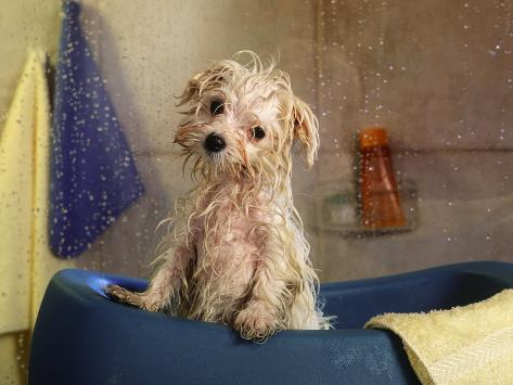 Little Wet Maltese in Bath Tub Photographic Print