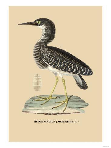 Heron Phaeton Art Print
