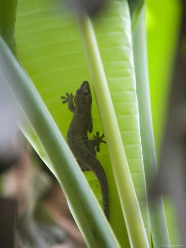 Gecko on Leaf, Cousin Island Special Reserve Near Praslin Island, Cousin Island Photographic Print
