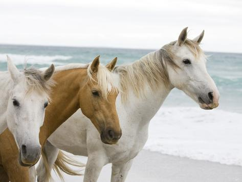 Horses on the beach photographic print at allposters horses on the beach publicscrutiny Gallery