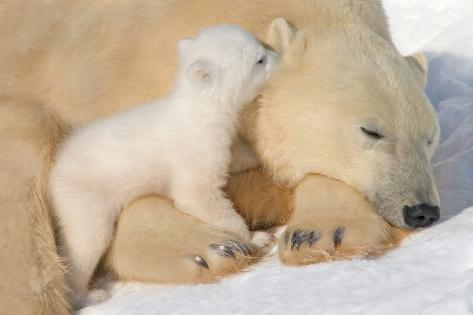 Cub Whispering to Mother Photographic Print