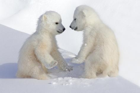 Dueling Polar Bear Cubs Photographic Print