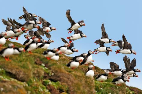 Puffin Fishing Party Departs for Sea Photographic Print