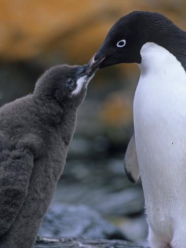 Adelie Penguin Adult Feeding its Chick, Pygoscelis Adeliae, South Orkney Islands Photographic Print