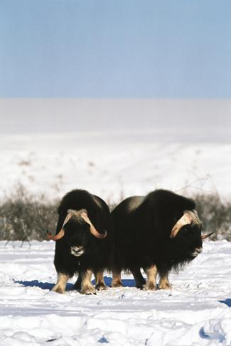 Musk Ox Bull Wildlife, Arctic National Wildlife Refuge, Alaska, USA Photographic Print