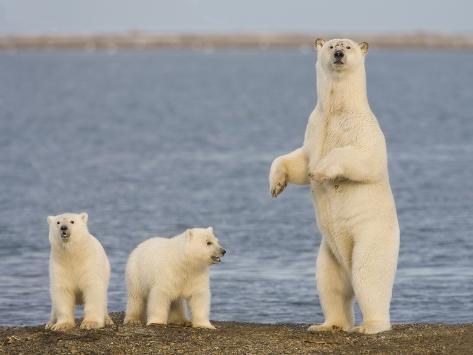 Polar Bear Cubs, Arctic National Wildlife Refuge, Alaska, USA Photographic Print