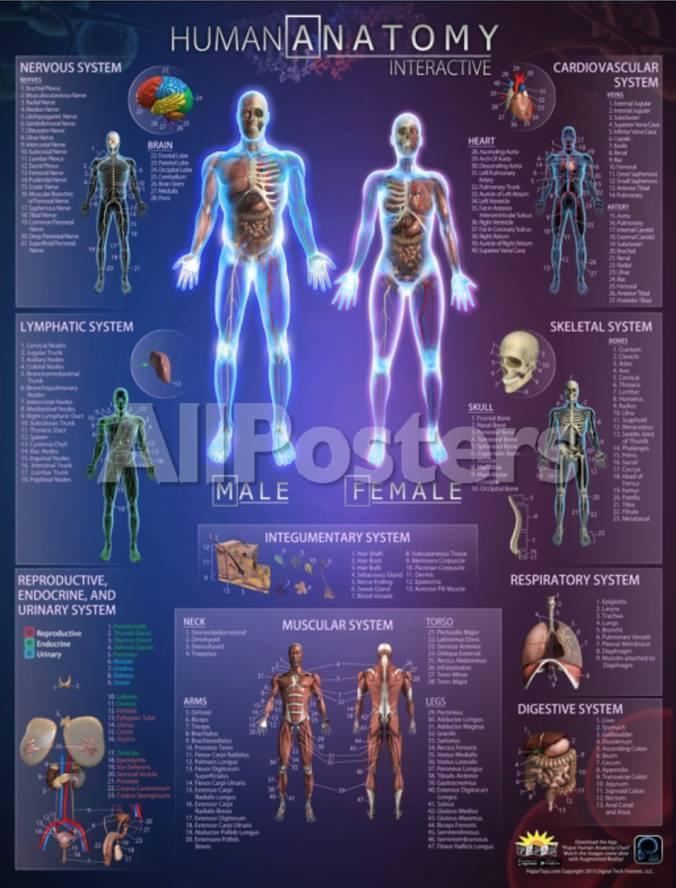 Human Anatomy Interactive Wall Chart Prints At Allposters