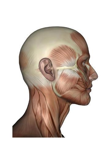 Human Anatomy of Male Facial Muscles, Profile View Pósters en ...