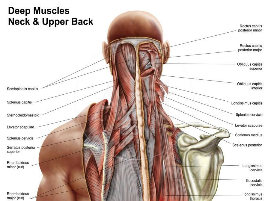 Human Anatomy Showing Deep Muscles in the Neck and Upper Back Print ...