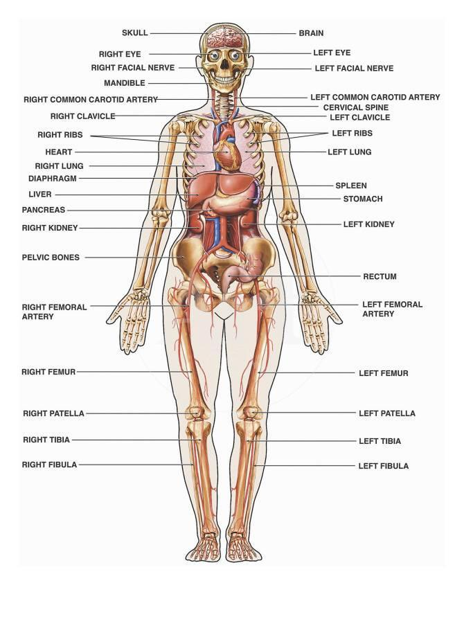Human Female Anatomy With Major Organs And Structures Labeled