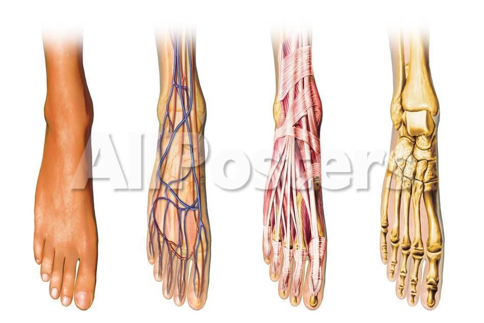 Human Foot Anatomy Showing Skin, Veins, Arteries, Muscles and Bones ...