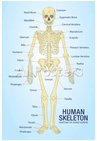 human skeleton anatomy anatomical chart poster print posters - at, Skeleton
