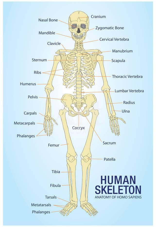 Human Skeleton Anatomy Anatomical Chart Poster Print Posters At