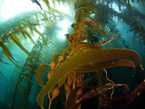 Chanthe View Underwater Off Anacapa Island of a Kelp Forest. Photographic Print