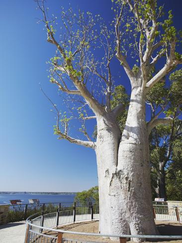 Boab Tree in King's Park, Perth, Western Australia, Australia Photographic Print