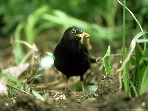 Blackbird, with Worm, UK Photographic Print