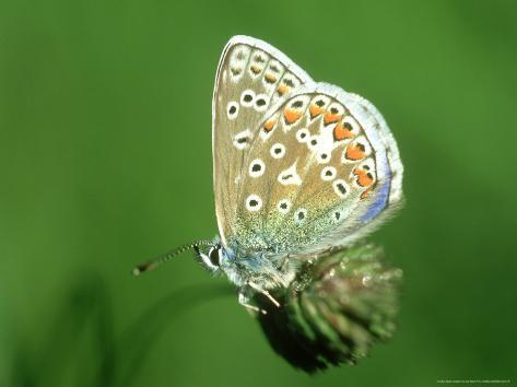 Common Blue in Early Morning Dew, UK Photographic Print