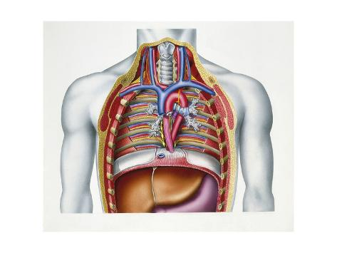Illustration Showing Cross Section of Human Chest Stretched Canvas Print