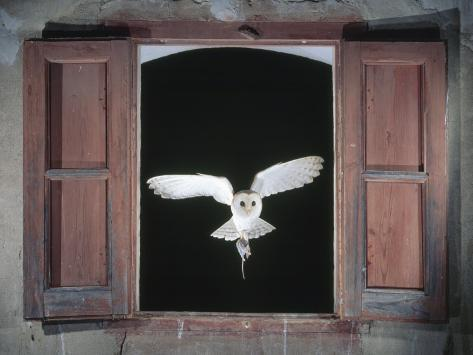 Barn Owl Flying into Building Through Window Carrying Mouse Prey, Girona, Spain Photographic Print