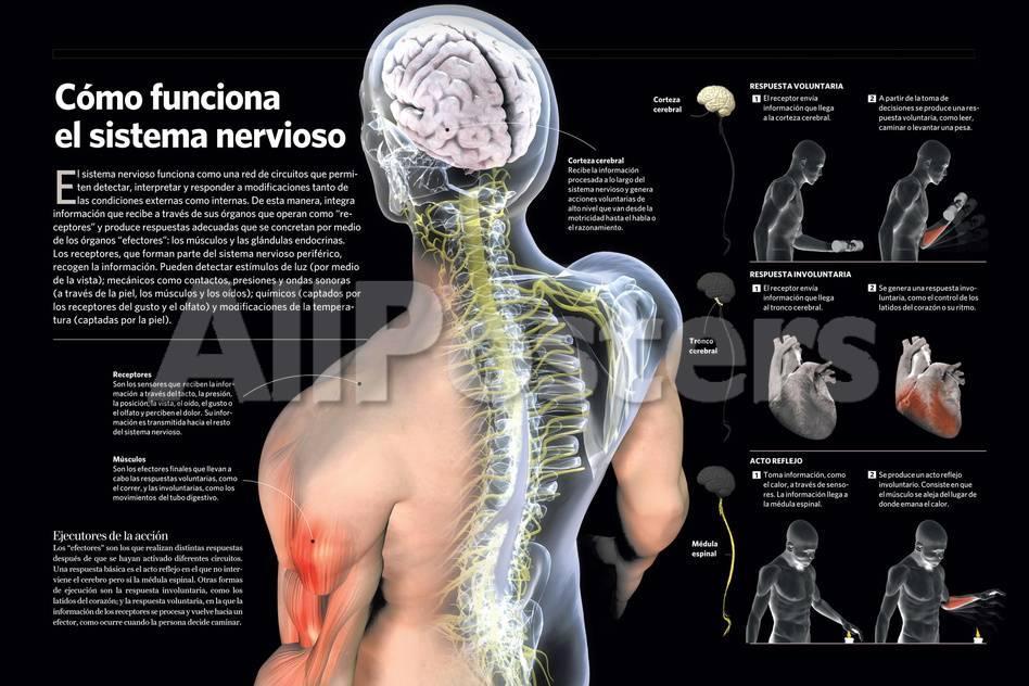 Infografía Acerca Del Sistema Nervioso Del Cuerpo Humano Pósters en ...