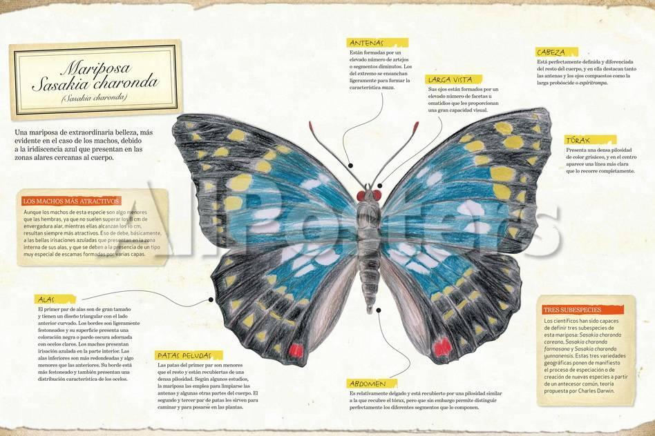 Infografía De La Anatomía De La Mariposa Sasakia Charonda (Sasakia ...