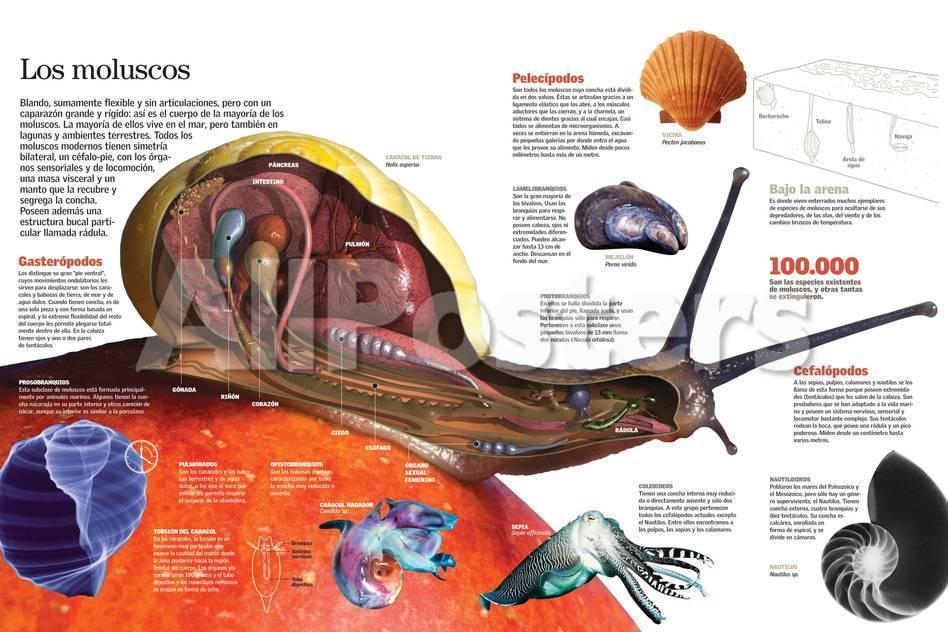 Infografía De La Anatomía De Los Moluscos Y Su Clasificación Láminas ...