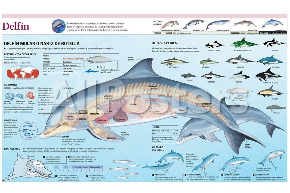 Infografía De La Anatomía, Hábitat Y Cría Del Delfín Mular Y De La ...