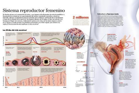 Infografía Del Sistema Reproductor Femenino Y Del Ciclo Menstrual ...