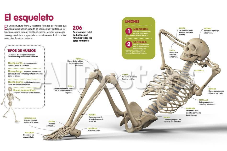 Infografía Sobre El Esqueleto Humano, Los Principales Huesos Que Lo ...