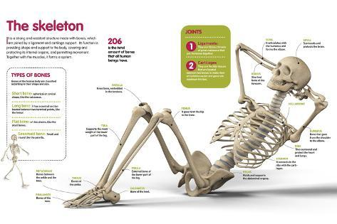 infographic about the human skeleton, the main bones that form it, Skeleton