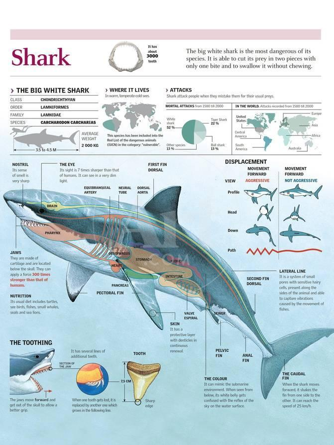 Infographic of Habitat, Anatomy, Teeth and Movement of the White ...