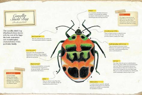 Infographic of the Anatomy of Camellia Shield Bug (Poecilocoris ...