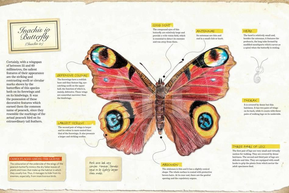 Infographic of the Anatomy of Inachis Io Butterfly Posters - at ...